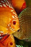 Discus fish stock images