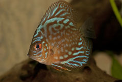Discus fish Royalty Free Stock Image