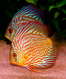 Discus fish. A colorful south american discus fish royalty free stock image