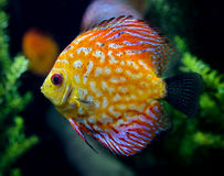 Discus fish 2 Royalty Free Stock Images