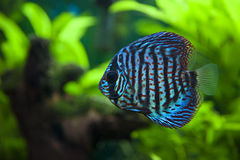 Discus Fish. A colorful close up shot of a Discus Fish stock images