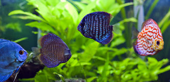 Discus fish. A group of colorful discus fish royalty free stock photography
