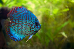 Discus Fish. A colorful close up shot of a Discus Fish royalty free stock photography