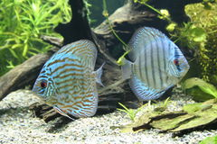 Discus Fish. A pair of blue Discus Fish - Symphysodon Aequifasciatus Stock Photography