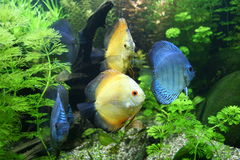 Discus Fish. Blue and Orange Discus Fish - Symphysodon Aequifasciatus Royalty Free Stock Images