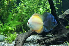 Discus Fish. A Pair of Blue and Orange Discus Fish - Symphysodon Aequifasciatus in a tropical freshwater aquarium Royalty Free Stock Image