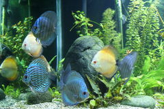 Discus Fish. Blue and Orange Discus Fish - Symphysodon Aequifasciatus in a tropical freshwater aquarium Stock Image