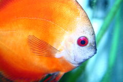 Discus fish Stock Image