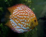 Discus fish 3 Royalty Free Stock Images