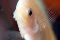 Discus fish 3. Discus fishes Royalty Free Stock Images