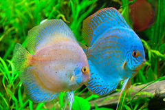 Discus fish. Symphysodon aequifasciatus in aquarium Royalty Free Stock Photography