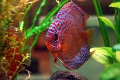 Discus fish. In a tank royalty free stock photography