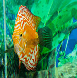 Discus Fish in an Aquarium Stock Images
