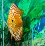 Discus Fish in an Aquarium Stock Images