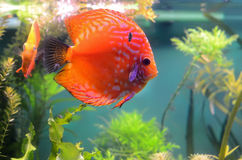 Discus fish in the aquarium Royalty Free Stock Photography
