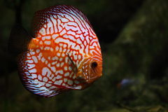 Discus Fish Stock Photography