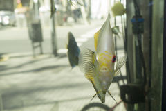 A discus fish in a aquarium Royalty Free Stock Photography
