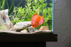 Discus Fish in Aquarium Stock Photos