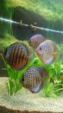 Discus fish aquarium royalty free stock photo