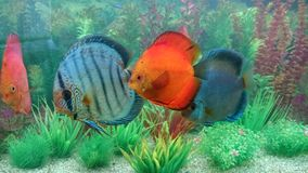 Discus fish aquarium Stock Images