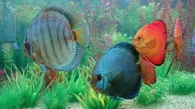 Discus fish aquarium Royalty Free Stock Photography