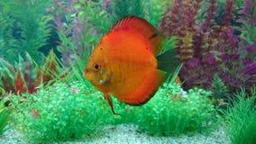 Discus fish aquarium Stock Image