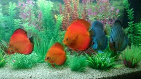 Discus fish aquarium Stock Photos