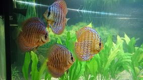 Discus fish aquarium Royalty Free Stock Photo