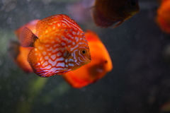 Discus fish in aquarium Stock Image