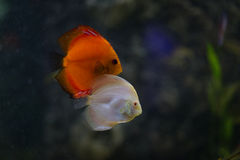 Discus fish in aquarium Royalty Free Stock Photo