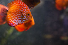 Discus fish in aquarium Royalty Free Stock Photography