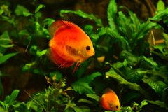 Discus fish in aquarium, tropical fish isolated on black. Symphysodon discus from Amazon river. Blue diamond, snakeskin, red tur. Quoise and more mutation royalty free stock image