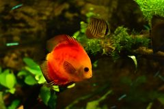 Discus fish in aquarium, tropical fish isolated on black. Symphysodon discus from Amazon river. Blue diamond, snakeskin, red tur. Quoise and more mutation stock photos