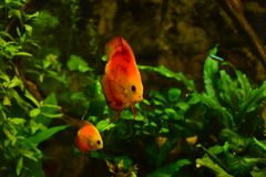 Discus fish in aquarium, tropical fish isolated on black. Symphysodon discus from Amazon river. Blue diamond, snakeskin, red tur. Quoise and more mutation royalty free stock photo