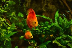 Discus fish in aquarium, tropical fish isolated on black. Symphysodon discus from Amazon river. Blue diamond, snakeskin, red tur. Quoise and more mutation stock photo