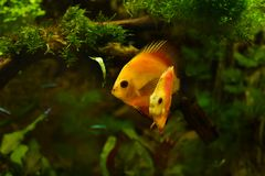 Discus fish in aquarium, tropical fish isolated on black. Symphysodon discus from Amazon river. Blue diamond, snakeskin, red tur. Quoise and more mutation royalty free stock photos