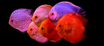 Discus fish in aquarium, tropical fish isolated on black. Symphysodon discus from Amazon river. Blue diamond, snakeskin, red turqu. Oise and more royalty free stock photography