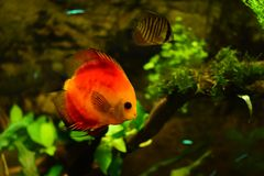 Discus fish in aquarium, tropical fish isolated on black. Symphysodon discus from Amazon river. Blue diamond, snakeskin, red tur. Quoise and more mutation stock image