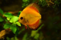 Discus fish in aquarium, tropical fish isolated on black. Symphysodon discus from Amazon river. Blue diamond, snakeskin, red tur. Quoise and more mutation royalty free stock images