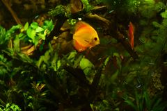 Discus fish in aquarium, tropical fish isolated on black. Symphysodon discus from Amazon river. Blue diamond, snakeskin, red tur. Quoise and more mutation royalty free stock photography