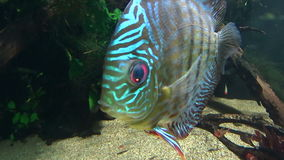 Discus Fish 2 stock footage