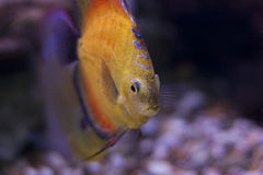 Discus Fish. A beautiful discus fish in a freshwater aquarium Stock Images