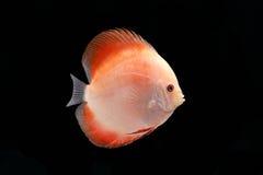 Discus Fish on Black Backgroung. Discus Fish fresh water aquarium on black background stock photos