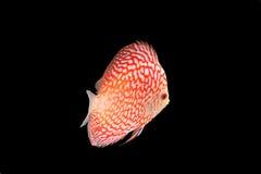 Discus Fish on Black Backgroung. Discus Fish fresh water aquarium on black background stock images