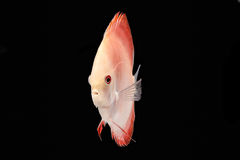 Discus Fish on Black Backgroung. Discus Fish fresh water aquarium on black background stock photography