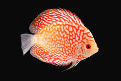 Discus Fish on Black Backgroung. Discus Fish fresh water aquarium on black background stock image