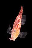 Discus Fish on Black Backgroung. Discus Fish fresh water aquarium on black background stock photo
