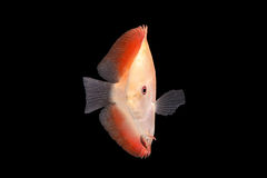 Discus Fish on Black Backgroung. Discus Fish fresh water aquarium on black background royalty free stock images