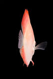 Discus Fish on Black Backgroung Royalty Free Stock Photography