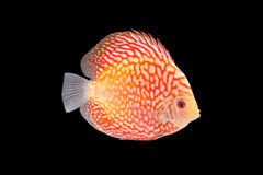Discus Fish on Black Backgroung Stock Photography
